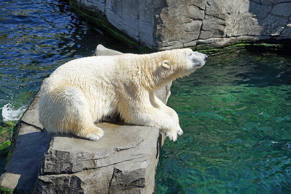 polar-bear-1096468_960_720